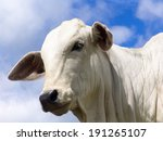 Nelore Cattle In Brazil