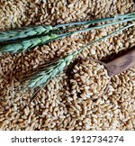 Wheat  Green Wheat Spikes And...