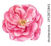 Pink Rose  Leaves And Buds On A ...