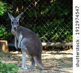 The Red Kangaroo  Macropus...