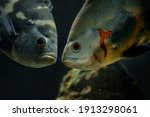 Large Cichlids Astronotus In...