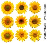 Sunflowers Head Collection...