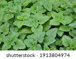 melissa plant. lemon balm in... | Shutterstock . vector #1913804974