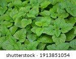 melissa plant. lemon balm in... | Shutterstock . vector #1913851054