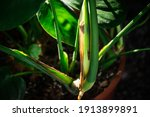 Small photo of Closeup image of plant's node . New leaves growing houseplant. Plant parts stem with nodes.