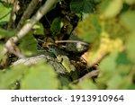 A Western Green Lizard  Lacerta ...