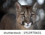 Portrait Of A Male By A Cougar...
