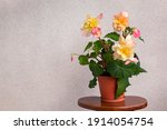 Blooming Tuberous Begonia In A...