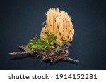 Ramaria Coral Mushrom Isolated...