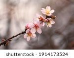 Almond Flowers Close Up On A...