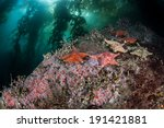 Small photo of Bat sea stars (Asterina miniata) cling to the rocky bottom of a kelp forest where strawberry anemones grow off the coast of Northern California.