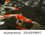 Blurred Capture Of Fancy Carp...