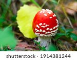 Bright Red Mushroom Amanita...