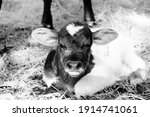Funny Face Of Mad Calf Shows...