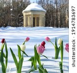 Colorful Tulips On The Snow And ...