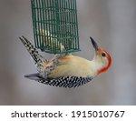 Male Red Bellied Woodpecker On...