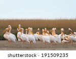 white pelicans in the danube... | Shutterstock . vector #191509235