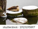 Egyptian Goose Sleeping On The...