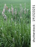 Small photo of Alopecurus pratensis, meadow foxtail