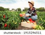 Farmer Taking Bell Pepper From...