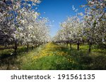 Apple Orchard  Spring