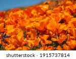 Orange Poppy Flowers Are The...