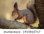 A Squirrel With A Nut In  The...