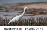 The Snowy Egret Is A Species Of ...