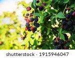 Blackberries Grow In The Garden....