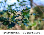 A group of spiky green holly...
