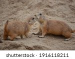 Two prairie dogs playing with each other on the sand ground