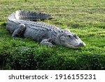 Florida Gator Basking In The...