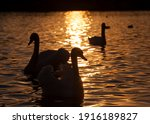 white Swan floating on the lake, beautiful waterfowl swans in the spring, beautiful birds of large size, closeup