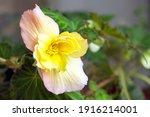 Lovely Tuberous Begonia Blooms...