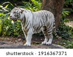 The White Tiger With Tongue Out ...