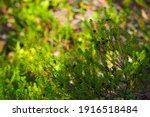 Small photo of Glossy black crowberries or Empetrum nigrum. Black crowberry in its wild habitat