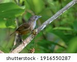 Small photo of Abbott's babbler.Abbott's babbler is a species of bird in the family Pellorneidae. It is widely distributed along the Himalayas in South Asia and extending into the forests of Southeast Asia.