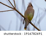 A Cedar Waxwing Perched On A...