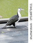The Pied Cormorant Is A Black...
