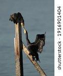 Great Cormorants Fighting For...