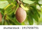 Closeup Of Fresh Sapodilla...