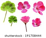 Geranium Flowers And Leaves...