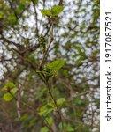 Mulberry   Morus Alba  Known As ...