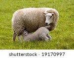 Little Lamb Getting Some Milk