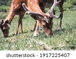 Sika Deer Eating Grass. Wildlife