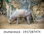 A Male Buru Babirusa Stands...