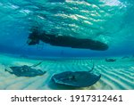 Southern Stingray In Their...