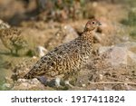 Ptarmigan Are Capable Of Flying ...