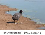 Black Coot In The Spring Season ...