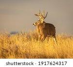Whitetail Deer Trophy Buck In...